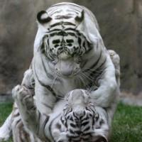 Witte tijgers in Moskou