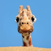 Giraffe in de Zoo van Antwerpen