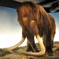 Mammoet in het Zoologisch museum