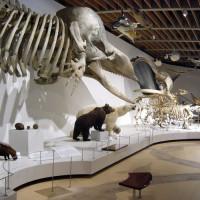Skeletten in het Zoologisch museum