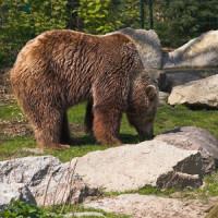Bruine beer in de Zoologischer Garten