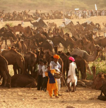 Birqash Kamelenmarkt