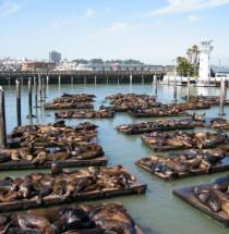 Zeeleeuwen op Pier 39